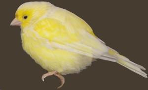 Canario_canary_pájaro_bird